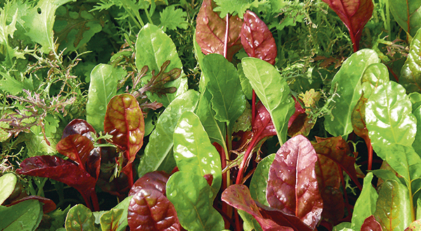 Ausschnitt eines Salatbeetes mit verschiedenen Schnittsalaten samt Mangold | Foto: Harald Rammel