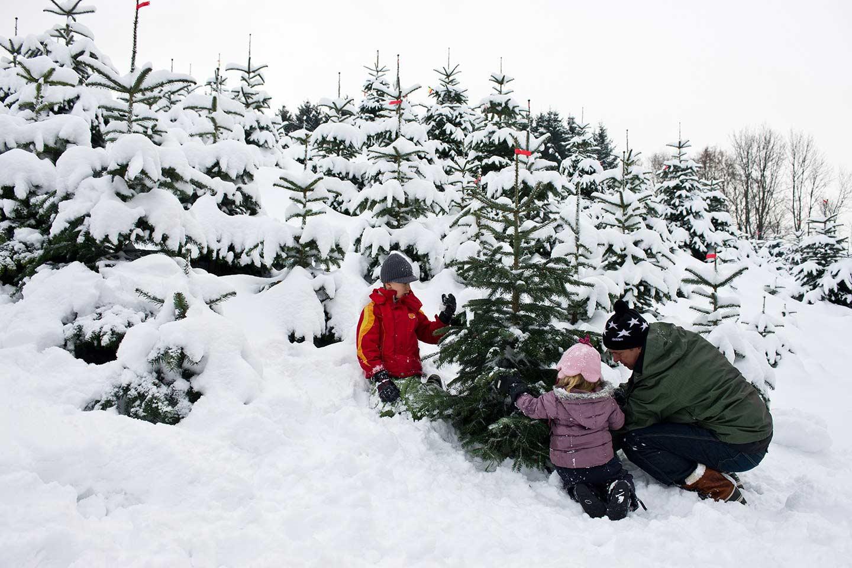 Zwei Kinder Helfen Einem Mann Bei Der Christbaum Ernte, Im Hintergrund Sind Mehrere Mit Schnee Bedeckte Tannen Zu Sehen