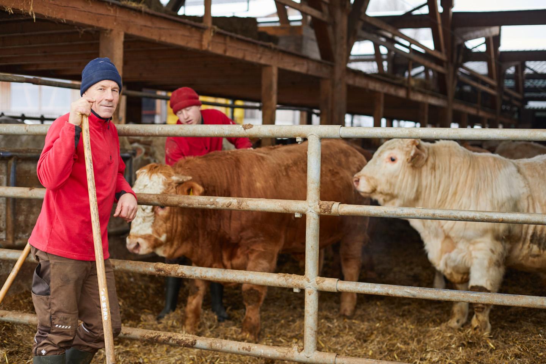 Karlheinz Marte Steht Neben Rindern Und Blickt In Die Kamera