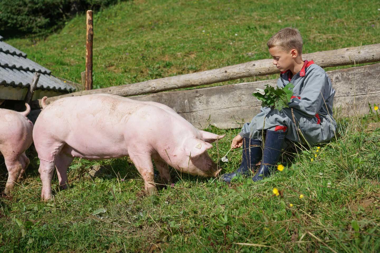 Ein Ländle Alpschwein Im Außengehege Der Alpe Obere Falz Schnuppert Im Gras, Während Ein In Der Wiese Sitzender Bub Ihm Pflanzen Zum Füttern Hinhält.