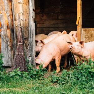 Mehrere Ländle Alpschweine Stehen Im Offenen Durchgang Vom Stall Zum Grasgrünen Außengehege.