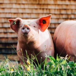 Zwei Ländle Alpschweine Der Alpe Kassa Wildmoos Stehen Im Außengehege, Eines Blickt Direkt In Die Kamera.