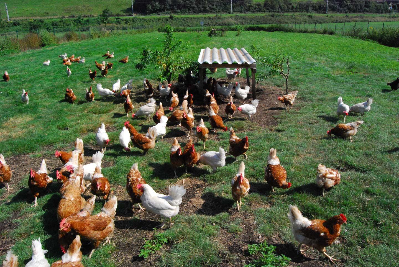Hühner Vom Geflügelhof Feldkirch Tummeln Sich Auf Einer Wiese