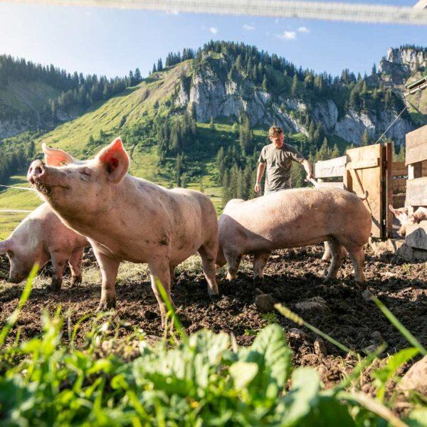 Mehrere Ländle Alpschweine wühlen in der Erde des Außengeheges der Alpe Stongen mit Bergpanorama im Hintergrund.